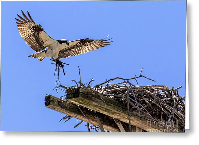 Osprey Nest Building Greeting Card