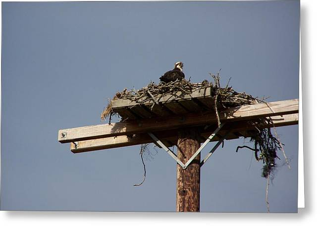 Osprey Nest Greeting Card by Laurie Kidd