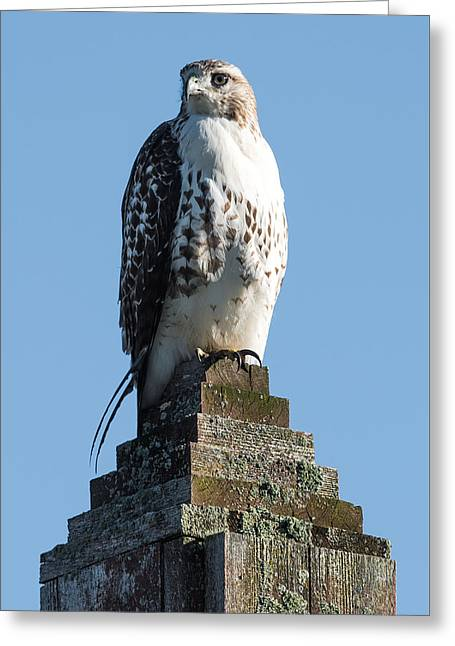 Red Shoulder Hawk On A Post Greeting Card