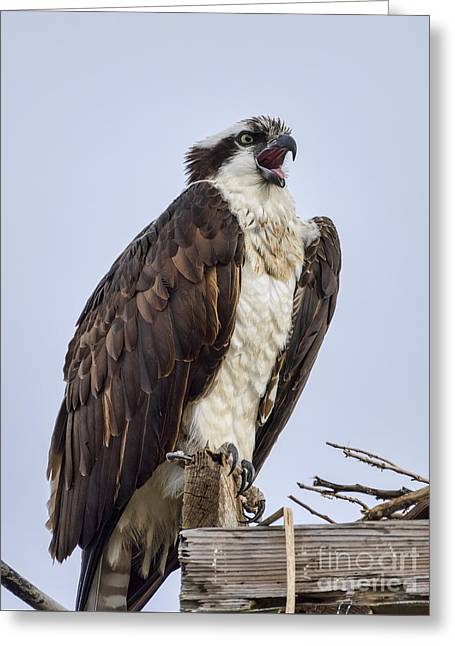 Greeting Card featuring the photograph Osprey On Its Perch by Eddie Yerkish
