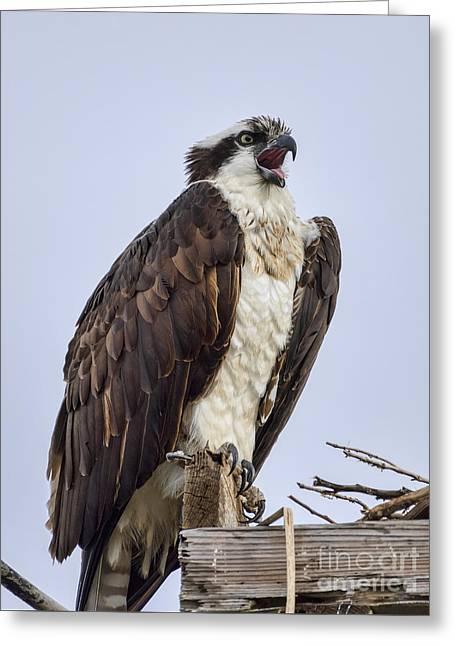 Osprey On Its Perch Greeting Card by Eddie Yerkish
