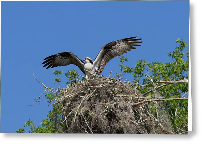 Osprey On Nest Wings Held High Greeting Card