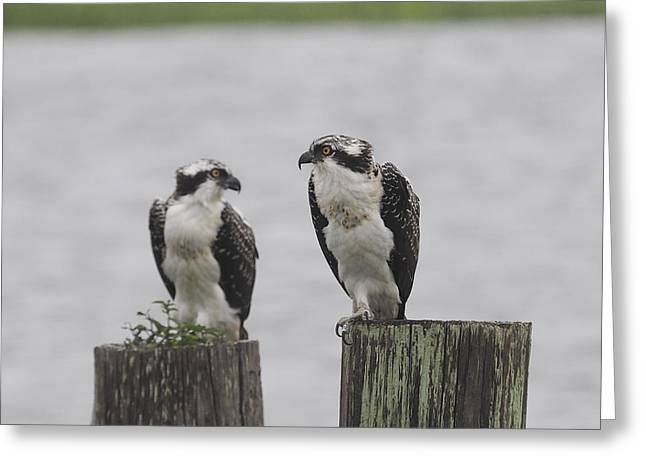 Osprey On Nj Shore 2014 Greeting Card