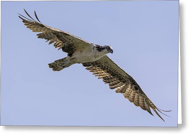 Osprey On The Hunt Greeting Card
