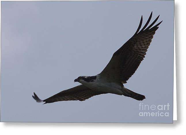 Osprey On The Tygart Greeting Card