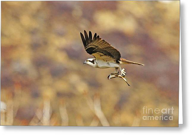 Osprey On The Wing With Fish Greeting Card by Dennis Hammer