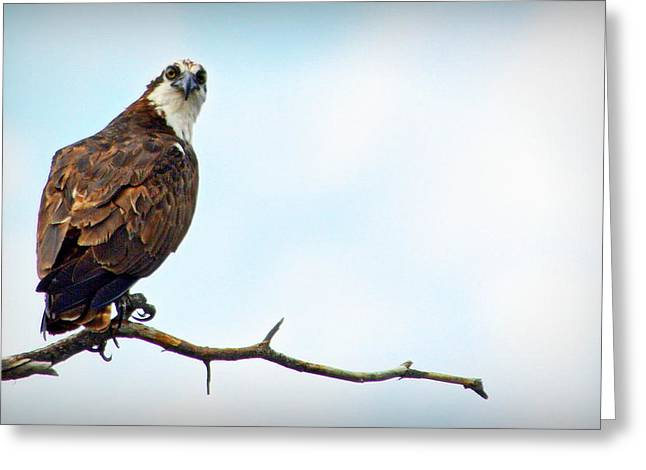 Greeting Card featuring the photograph Osprey Out On A Limb by AJ Schibig
