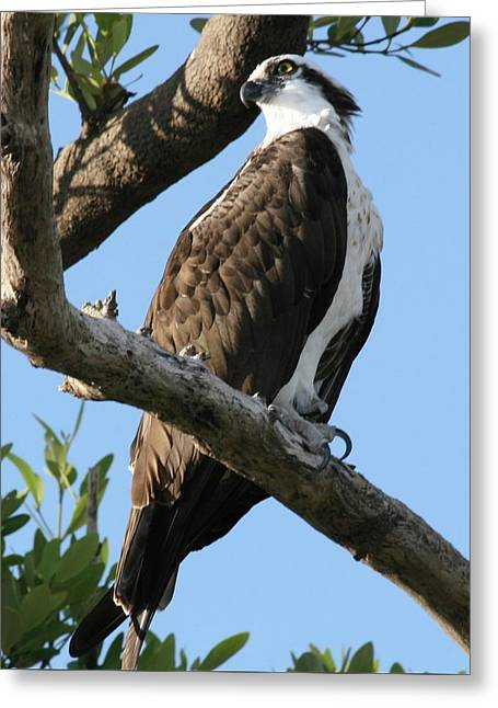 Osprey - Perched Greeting Card