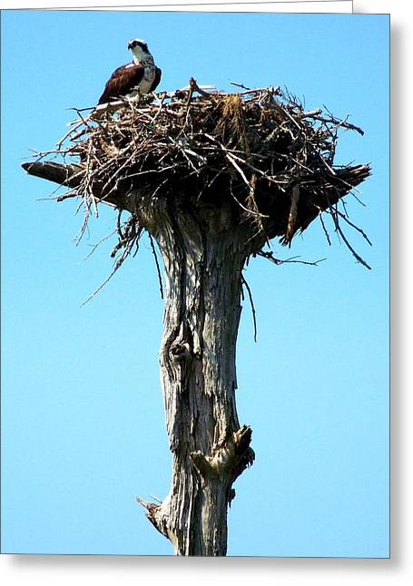Osprey Point Greeting Card
