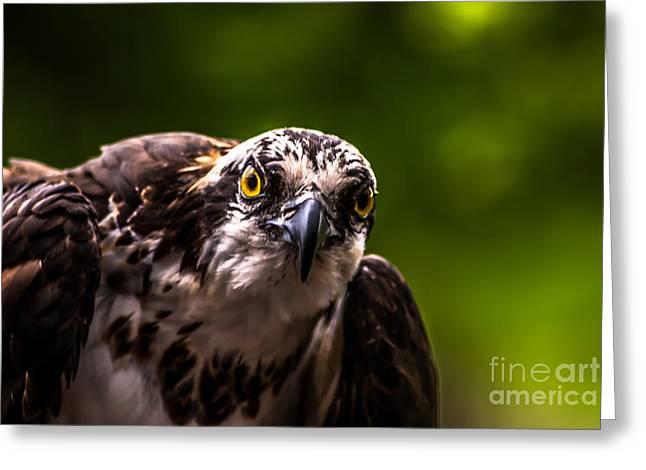 Osprey Profile 2 Greeting Card