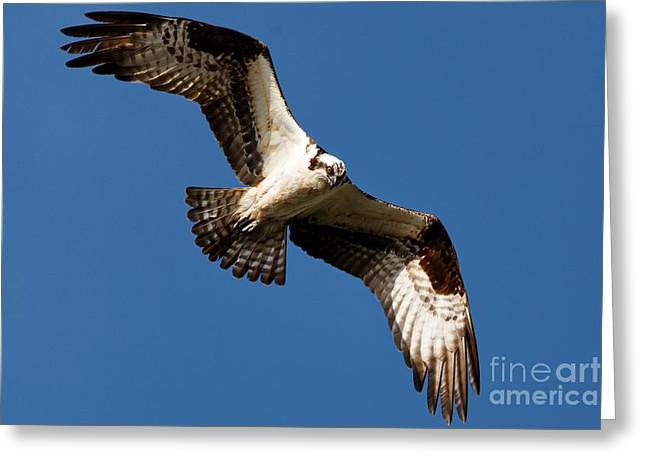 Greeting Card featuring the photograph Osprey - Soaring by Sue Harper