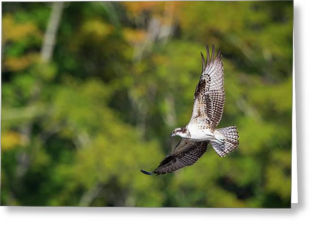 Osprey Square Greeting Card