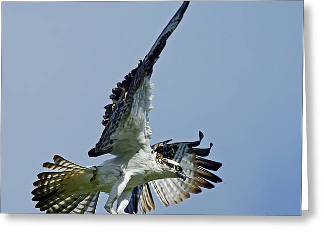 Osprey Success Greeting Card