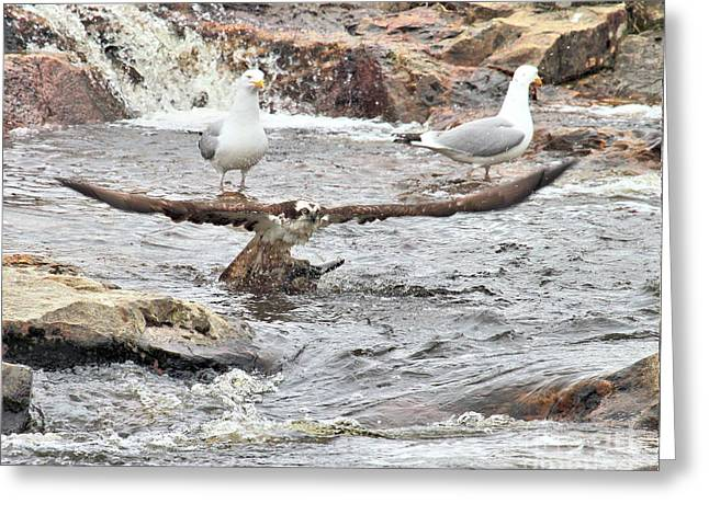 Greeting Card featuring the photograph Osprey Takes Fish From Gulls by Debbie Stahre