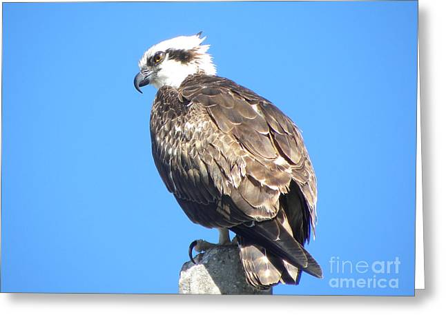 Greeting Card featuring the photograph Osprey by Terri Mills