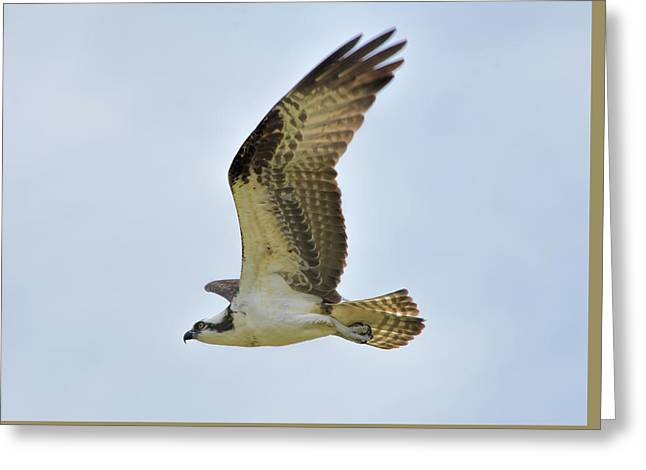 Osprey Upswing Greeting Card