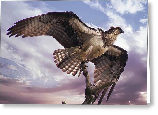 Osprey Wing Greeting Card