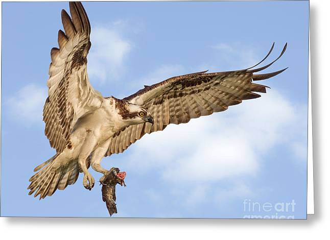 Osprey With Catfish Greeting Card by Jerry Fornarotto