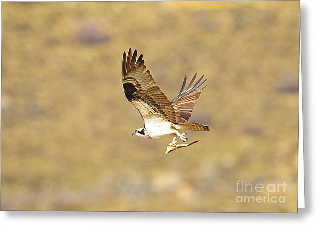 Osprey With Fish Greeting Card by Dennis Hammer