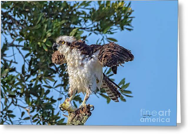 Osprey With Meal Greeting Card