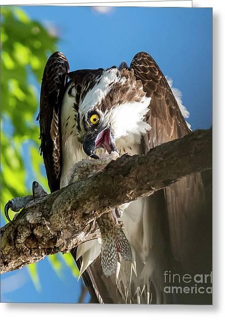 Osprey With Prey Greeting Card