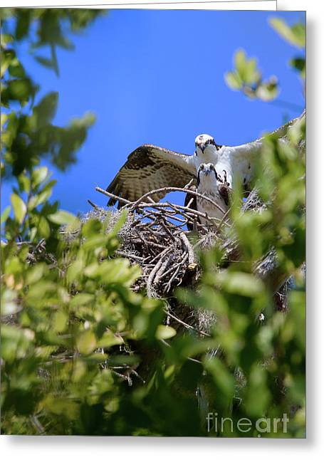 Greeting Card featuring the photograph Ospreys by Arthur Dodd