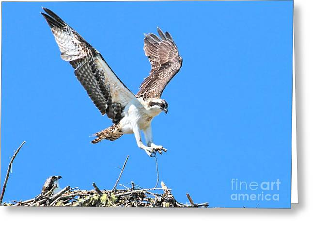 Ospreys Learning To Fly Greeting Card