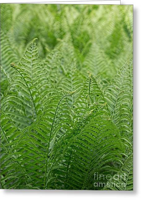 Ostrich Fern Fronds Greeting Card by Barbara McMahon