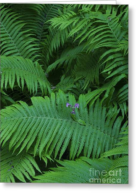 Ostrich Fern Fronds Greeting Card by Per-Olov Eriksson
