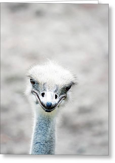 Ostrich Greeting Card by Lauren Mancke