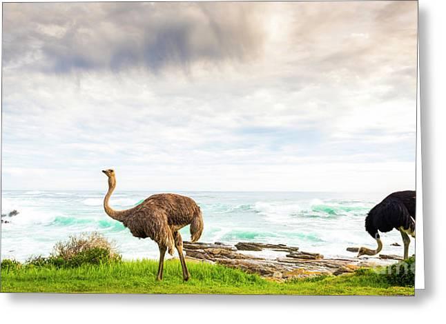 Ostrich Pair Beside Ocean Greeting Card by Tim Hester