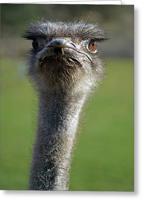 Ostrich What A Face Greeting Card by Laura Mountainspring