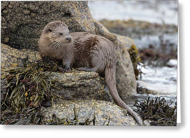 Otter Beside Loch Greeting Card
