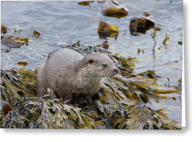 Otter On Seaweed Greeting Card