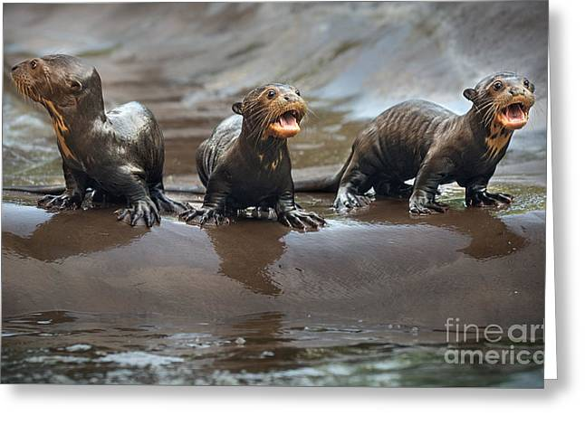 Otter Pup Triplets Greeting Card