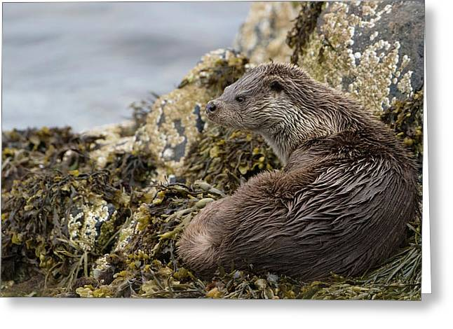Otter Relaxing On Rocks Greeting Card