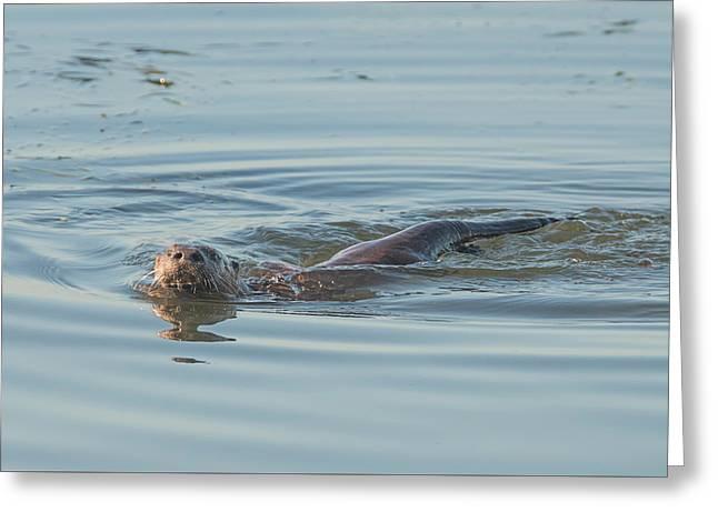 Otter Swimming Greeting Card by Loree Johnson