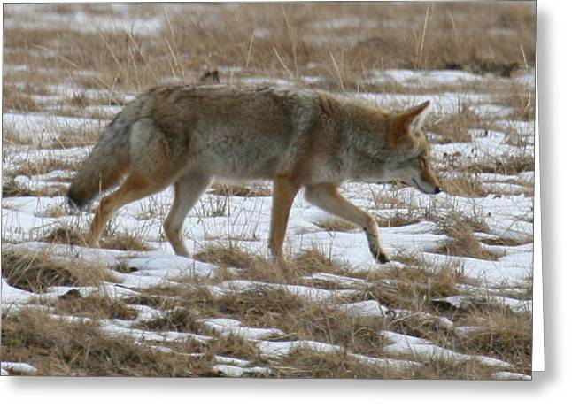 Out Looking For Dinner Greeting Card by Robert Torkomian