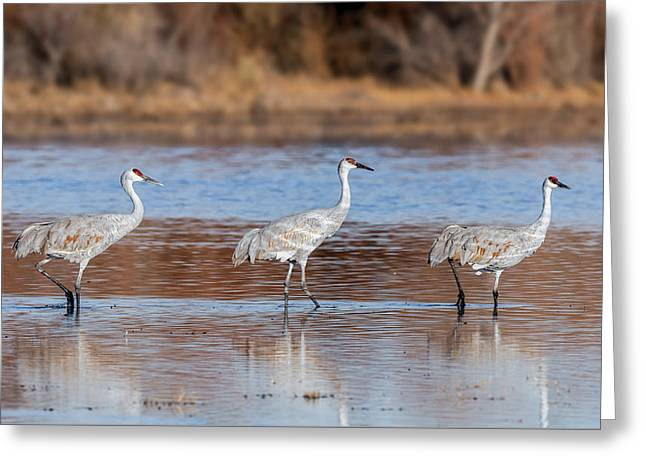 Out Of Step - Sandhill Crane Trio Greeting Card by SharaLee Art