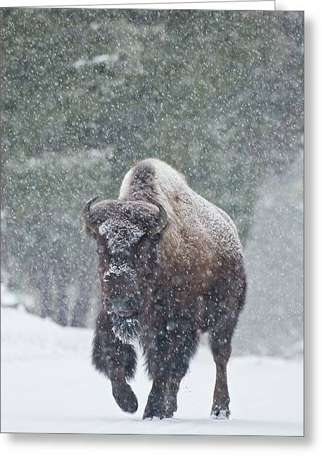 Buffalo Extinction Greeting Cards - Out of the Snow Greeting Card by D Robert Franz