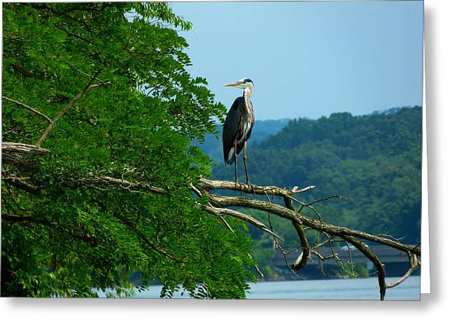 Out On A Limb Greeting Card by Donald C Morgan