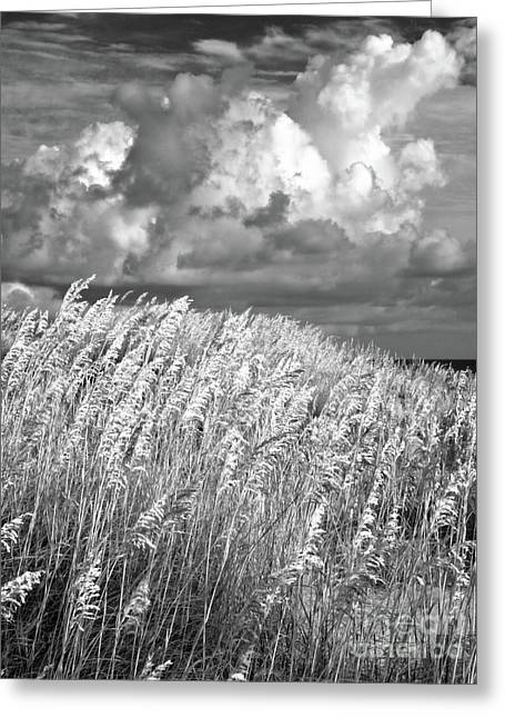 Outer Banks - Sea Oats Swaying In A Storm Bw Greeting Card by Dan Carmichael
