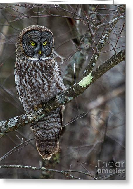 Over There- Great Gray Owl Greeting Card by Lloyd Alexander