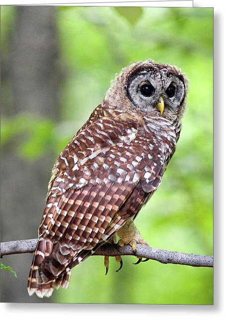 Owl On The Prowl Greeting Card by Timothy McIntyre