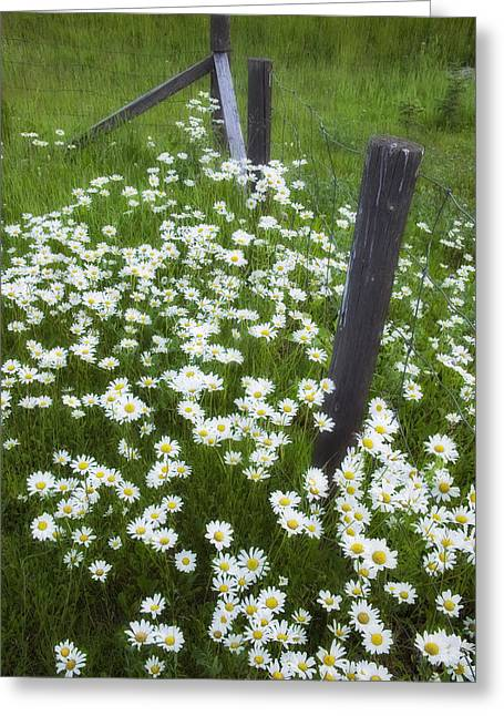 Ox-eyed Daisies And Fenceline, Alberta Greeting Card