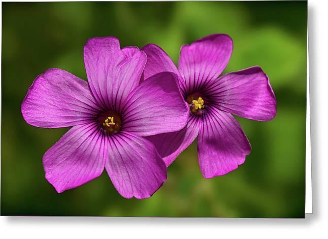 Oxalis Flowers Greeting Card by Pete Hemington