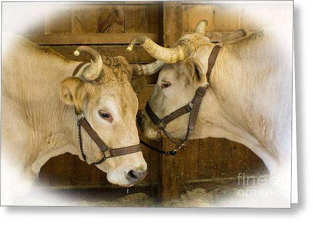 Oxen Team Greeting Card by Kevin Fortier