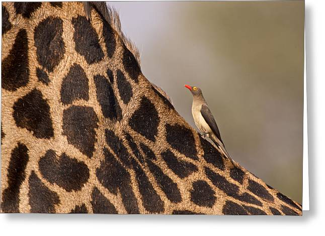 Oxpecker On Giraffe Back Greeting Card by Johan Elzenga