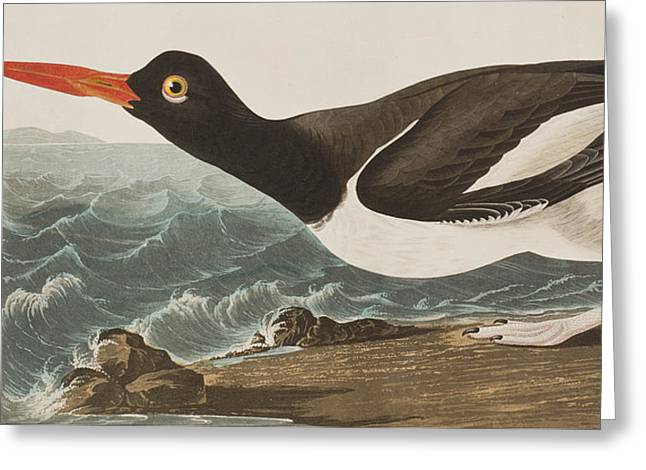 Oyster Catcher Greeting Card