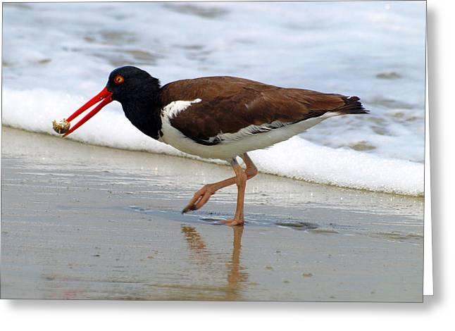 Oyster Catcher Greeting Card by Kim Schmidt